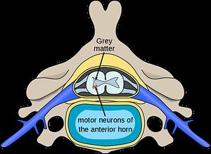 Spinal_diagram